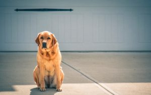 Labrador retriever dogs best dogs to own