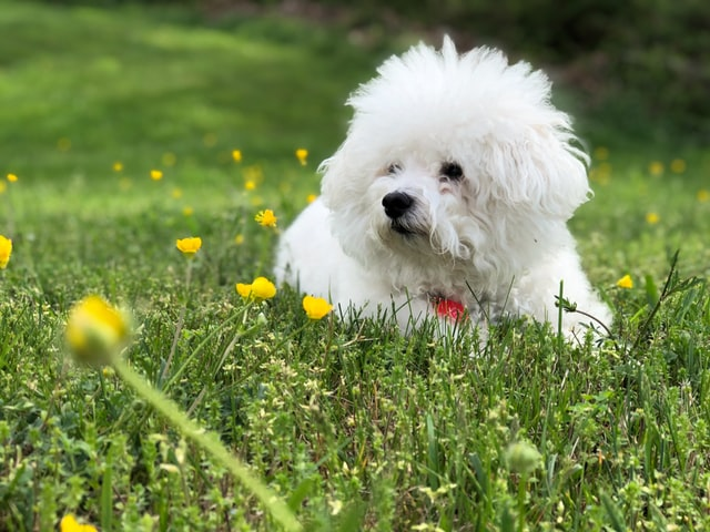 Bichon Frise top cutest dogs