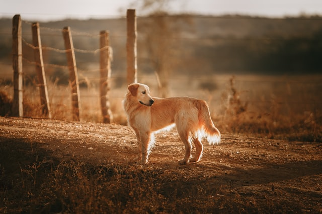 golden retriever top cutest dogs
